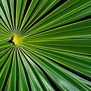 Palm leaf close up. Mexico.