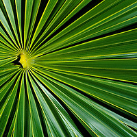 Palm leaf close up. Mexico.