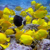 Snorkel, Cooks Inlet, Big Island, Hawaii, Tropical Fish
