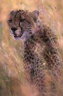 A portrait of a cheetah (Acinonyx jubatus) sitting camouflaged in the brush, Masai Mara National Reserve.