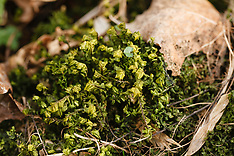 Mossen, hauwmossen en levermossen,  Bryophyta, Anthocerotophyta, Marchantiophyta