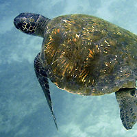 South America, Ecuador, Galapagos, Floreana. Galapagos Green Sea Turtle.