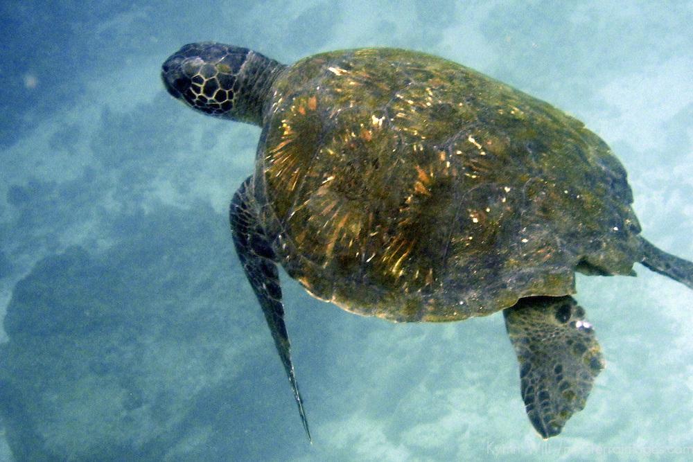 South America, Ecuador, Galapagos, Floreana. Galapagos Green Sea Turtle.