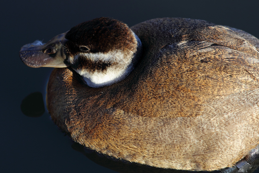White-headed Duck seen from above at the London Wetland Centre, Barnes, London