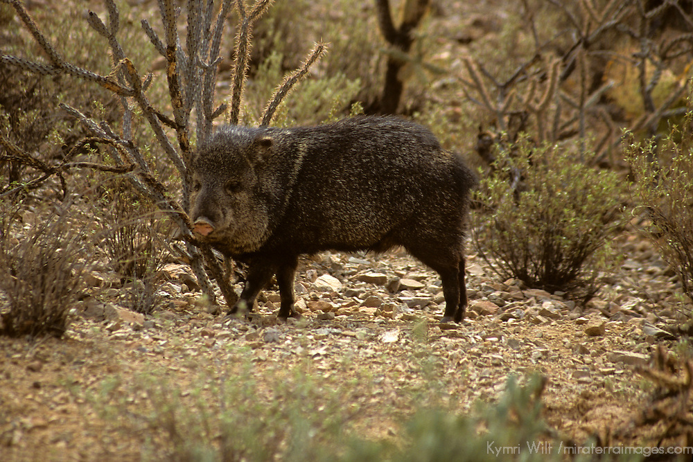 North America, Americas, USA, United States, Arizona.Collared Peccary at the Arizona-Sonora Desert Museum.