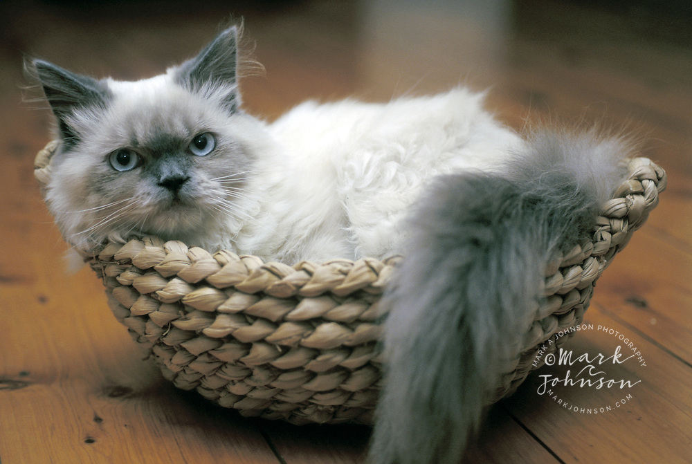 Himalayan breed cat