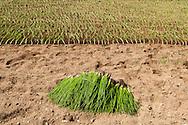 France, Languedoc Roussillon, Cévennes, Gard, culture d'oignons doux des Cévennes, plants, repiquage