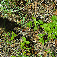 Poison Oak, Pine Ridge Trail, Big Sur, California.