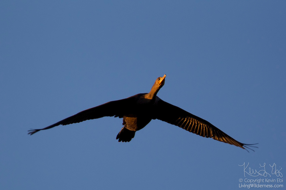 A double-crested cormorant (Phalacrocorax auritus) flies over the Snohomish River near Kenmore, Washington. Double-crested cormorants have a typical wingspan of 52 inches (132 centimeters) and are one of only two types of cormorants that are commonly found on or near fresh water.