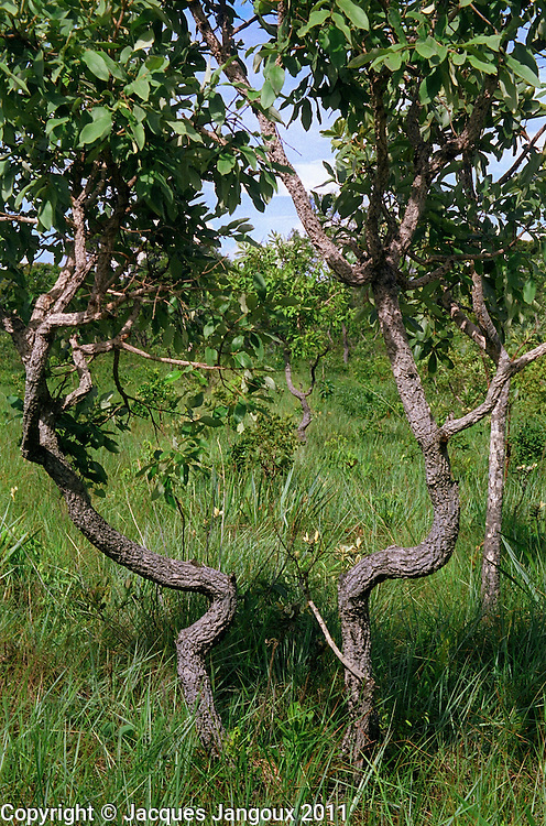 Cerrado  (savanna or wooded savanna) showing trees (probably one  tree from underground stem) with contorted trunks and branches and thick bark which acts as a protection to fire. Brazilian Highlands, Brazilian Shield, northern Goias, Brazil.
