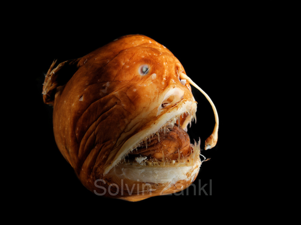 Melanocetus murrayi is a fish that has several English names: black deep-sea angler, Murray's abyssal anglerfish or deepsea  blackdevil . It usually lives at depths between 1000 and 2500 m, but has also been found more than 6000 m below the surface. This anglerfish is distributed in all oceans to latitudes of 65°. The typical feature of anglerfishes is a fleshy process near the mouth with bioluminescence bacteria. This is used as a lure to attract prey in the dark of the deep sea. Despite its monstrous appearance this female fish only grows up to a size of 12 cm. The male reaches a maximum length of 2 cm and lives parasitic, attached to a female.- Preserved specimen.  This picture was taken in cooperation with the Zoological Museum University of Hamburg  [size of single organism: 8 cm] | Tiefseeangler (Melanocetus murrayi) Das Bild entstand in Zusammenarbeit mit dem Zoologischen Museum Hamburg (ZMH); ZMH 121784 (ISH 149-1983); 12.06.1983; 16°26'W, 46°8'N; Walther Herwig, 59, St. 2 Hol2, MT 1600; 1000 m