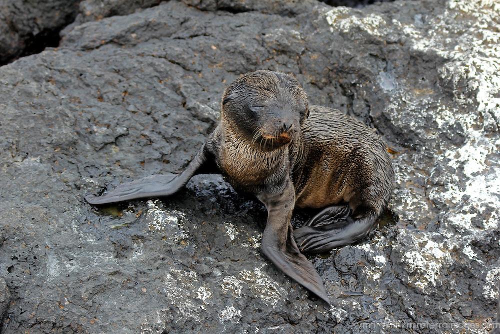 Ecuador, Galapagos, South Plaza island. Baby Sea Lion.