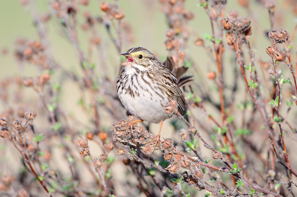 Singing Song Sparrow (Melospiza melodia), Montana