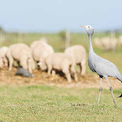Blue Crane standing in a farm field together with merion sheep, Overberg, Western Cape, South Africa