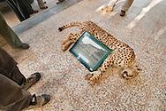 Cheetah necropsy, Tabas, Iran