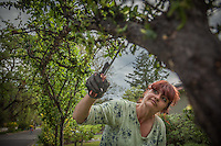 """""""This is a new job for me...I've spent most of the last eleven years under fluorescent lights...I love being outside...I love the dirt.""""  -Landscaper and Calistoga resident Tammy McClain removes bugs from a plumb tree on Cedar Street in Calistoga, CA"""