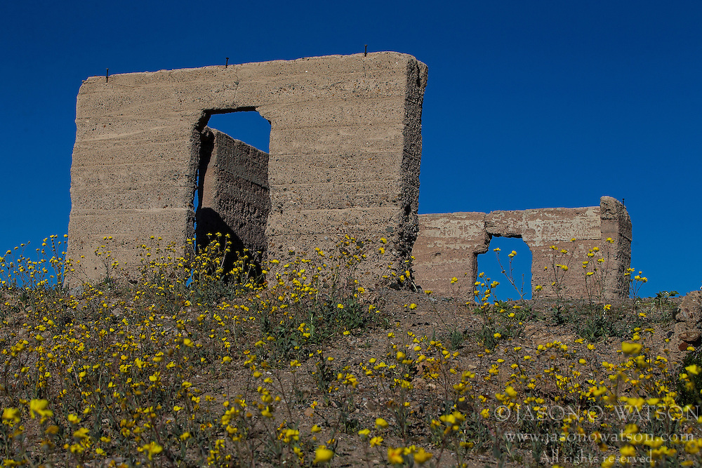 Desert Gold (Geraea canescens) wildflowers in front of the Ashford Mill Ruins on February 19, 2016 in Death Valley National Park, California, United States of America.