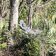 Tri colored heron making a hard landing in some brush surrounding a secluded Jekyll Island swamp.