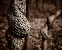Twisted Bark. Autumn Nature in New Jersey. Image taken with a Nikon 1 V2 camera and 32 mm f/1.2 lens (ISO 160, 32 mm, f/2.5, 1/400 sec). Image processed with Capture One Pro 7 and converted to B&W with Google/NIK Silver Efex Pro 2. Opening day walk through Rock Mill Preserve in Skillman, Montgomery Township in New Jersey.