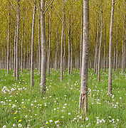 Infinite Forest. A planataion near Kemble England