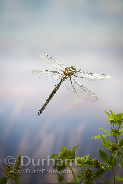 A common blue darner (Aeshna sp) in flight near a pond in temperate rain forest, Oregon coastal mountains.