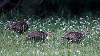 Young Wild Turkeys. Summer Nature in New Jersey. Image taken with a Nikon D800 and 500 mm f/4 VR lens (ISO 800, 500 mm, f/4, 1/250 sec).