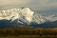 Crazy Mountains, Front Range, Montana, angus cattle