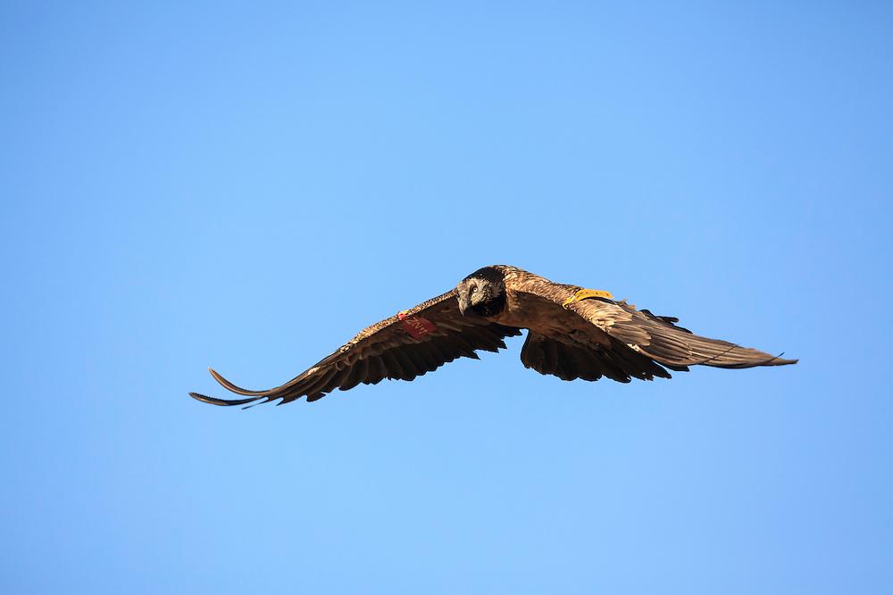 Bearded Vulture or Lammergeier (Gypaetus barbatus) flying. Pre-Pyrenees. Lleida province. Catalonia. Spain.