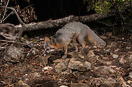 Gray Fox (Urocyon cinereoargenteus)<br /> TEXAS: Travis Co.<br /> Austin<br /> 12-Feb-2015<br /> J.C. Abbott &amp; K.K. Abbott<br /> photographed with trap camera