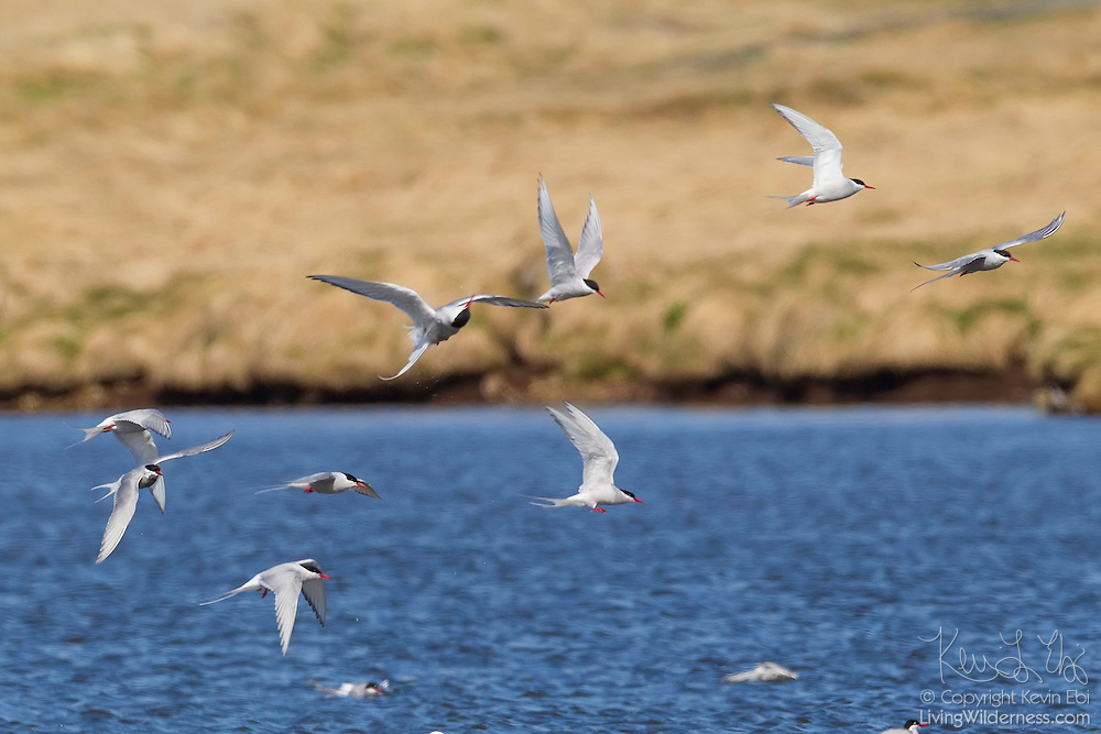 A flock of Arctic Terns (Sterna paradisaea) flies over a small lake on Grímsey Island, Iceland. Grímsey, located on the Arctic Circle, is the northernmost point in Iceland. Arctic Terns have the longest migration of any animal, flying an average of 44,300 miles (70,900 kilometers) each year. They summer in each hemisphere, breeding in the northern polar region during its summer and then fly to the edge of the Antarctic ice for the southern hemisphere summer.