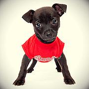 Black chihuahua puppy. ©Anne Chadwick Williams