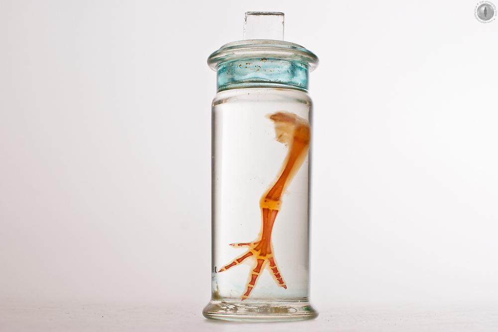 Preserved chicken leg with red die taken in a jar, taken in the studio