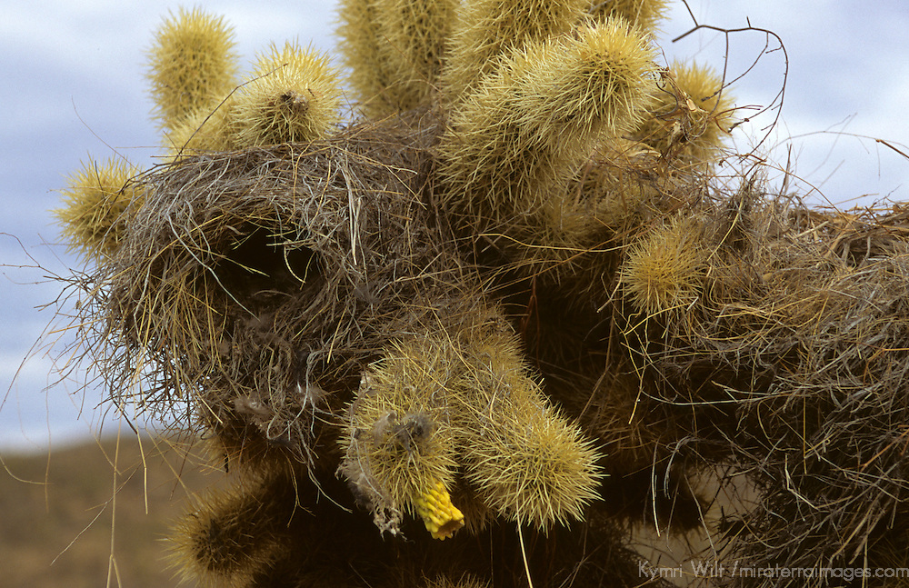 North America, USA, Arizona, Tucson. Saguaro National Park (East). Cholla cactus.