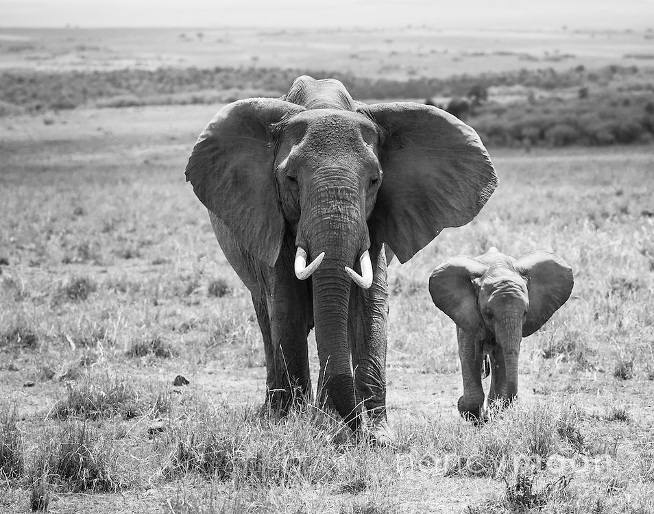 Free Baby Elephant Wallpaper Black And White