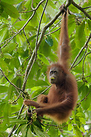 Bornean Orangutan - &quot;wurmbii&quot; subspecies<br />(Pongo pygmaeus wurmbii)<br /><br />Young adult female &quot;Walima&quot; feeding on flowers of a Madhuca tree.<br /><br />Cabang Panti Research Station<br />Gunung Palung National Park<br />West Kalimantan, Indonesia<br />Borneo Island