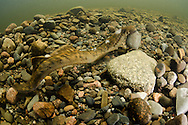 Sea Lamprey<br />