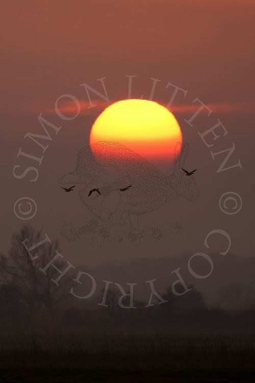 Greylag Geese (Anser anser) flying at dusk, Norfolk Broads N.P. UK