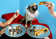 Lucy, a pug dog, samples a doggie treat at the LexiDog Boutique & Social Club where she is a member. Her owner Stepanie Hooper has been bringing her there for the past three months after moving into the Pearl District...