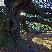 The Angel Oak tree in John's Island, South Carolina, is the oldest living thing east of the Mississippi River.  It is 1,500 years old.  It is a live oak tree.  An imposing work of nature, it stands 65 feet high and a diameter of 160 feet.  It's canopy provides 1,700 square feet of shade.  It has survived countless storms, hurricanes, floods, earthquakes and human interference.  photo by David Peterson