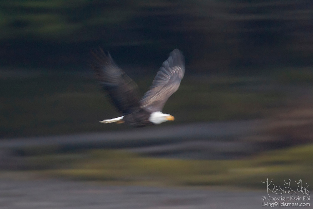 An adult bald eagle (Haliaeetus leucocephalus) flies along the banks of the Squamish River in Brackendale, British Columbia, Canada. The eagle's motion is blurred by a long exposure.