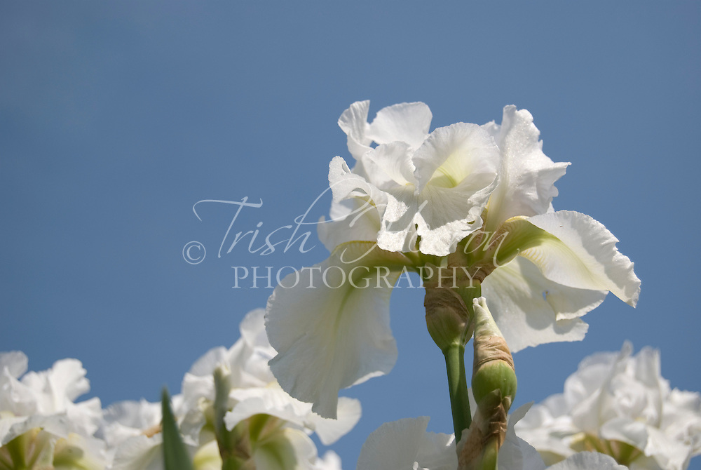 White Iris blooms against clear blue sky