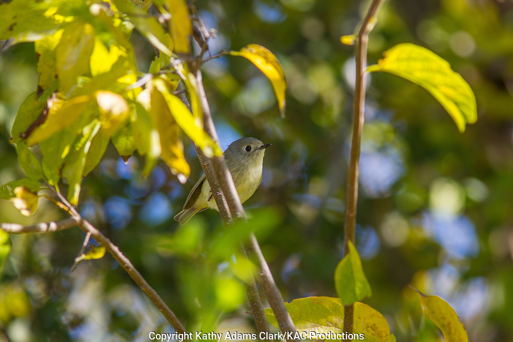 Ruby-crowned kinglet, Regulus calendula, nonbreeding, autumn, San Jacinto Battleground State Historic Site, La Porte, Texas.