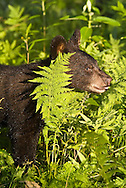 American black bear, Ursus americanus, native to North America.