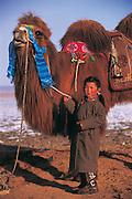 Bactrian camels (Camels bactrians) &amp; nomad<br /> Gobi Desert<br /> Mongolia