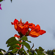 African Tulip Tree, Flame of The Forest, Fountain Tree, Firebell<br /> Spathodea campanulata, Arusha, Tanzania.