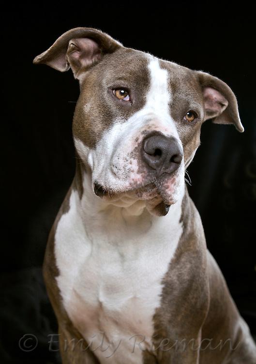 brindle pit bullmastiff mix best friend photography by