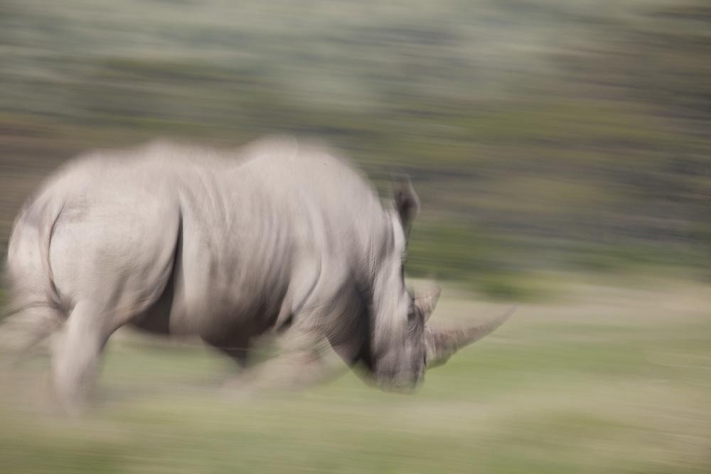 A white rhino runs in Solio, Kenya