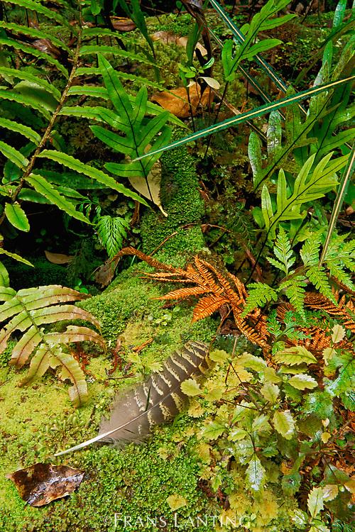 Kakapo feather on forest floor, Strigops habroptila, Codfish Island, New Zealand