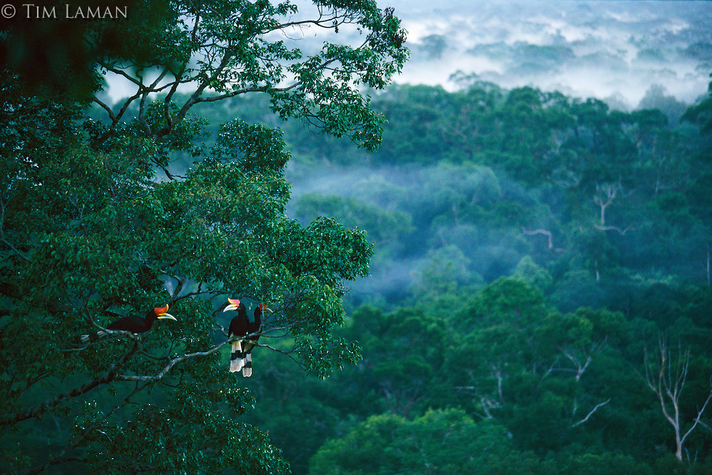 Rhinoceros hornbills (Buceros rhinoceros) perched high in canopy with lowland rainforest behind.  Gunung Palung N.P., Borneo, Indonesia...IUCN Red List: Near Threatened..Also, lowland rainforest is a critically endangered habitat in Borneo.