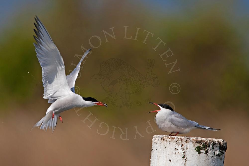 Common Tern (Sterna hirundo) adult male offering fish to female, Norfolk, UK.
